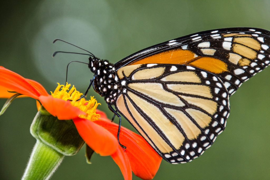 1-1-1-monarch-pollinating-mexican-sunflower-5039