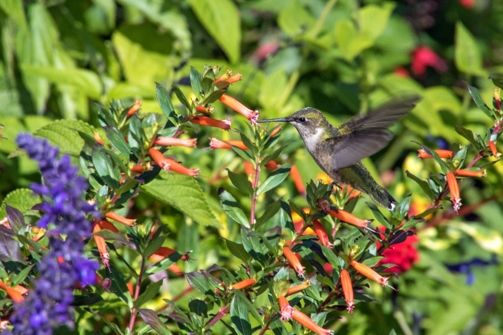1-1-hummingbird-sipping-nectar-from-salvia-flower-2366