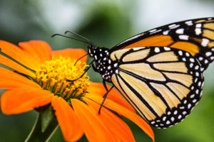 1-1-Monarch Pollinating Mexican Sunflower-5050