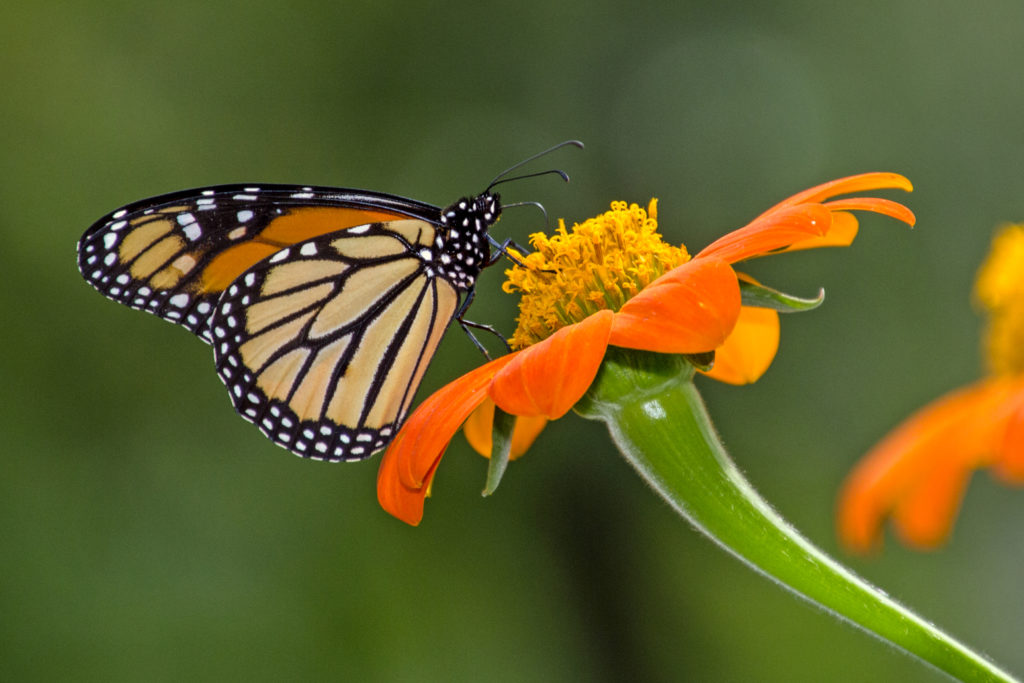 1-1-monarch-pollination-4979
