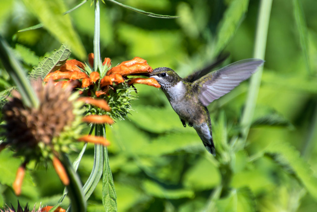1-hummingbird-sipping-nectar-from-lions-tail-buds-2333
