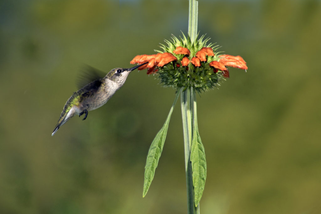 1-hummingbird-sipping-nectar-from-lions-tail-buds-2334