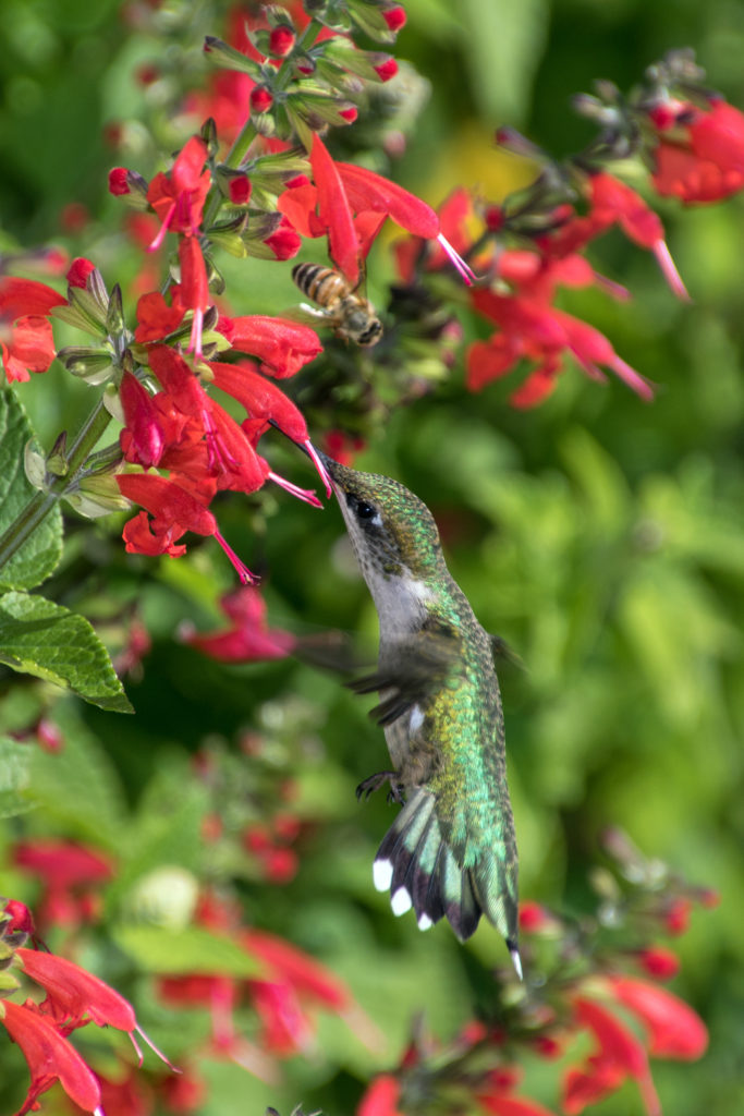 1-hummingbird-sipping-nectar-from-salvia-flower-with-bee-2353