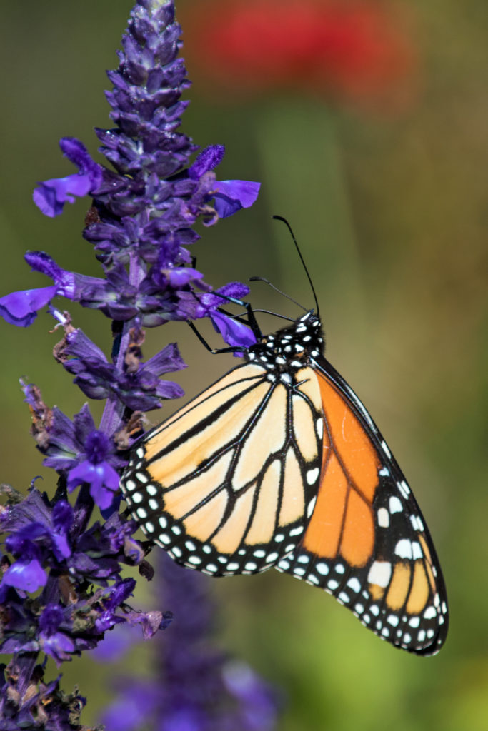 1-monarch-on-purple-flowers-2311