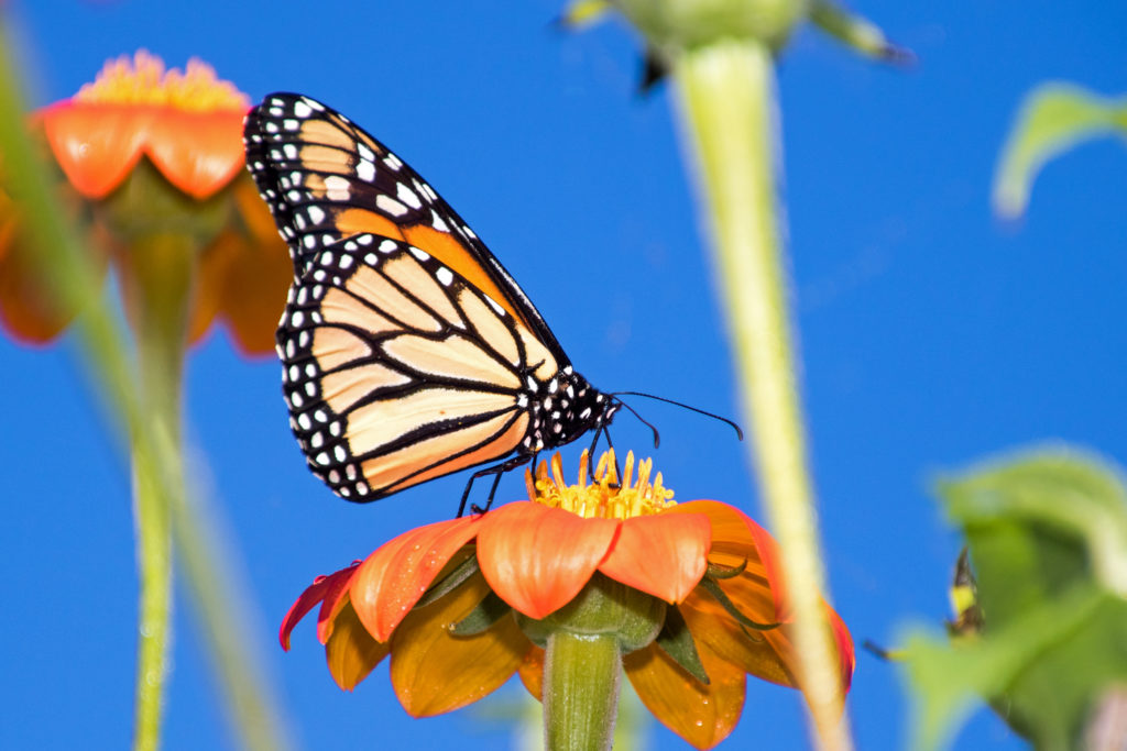 1-monarch-sipping-nectar-from-mexican-sunflower-2266