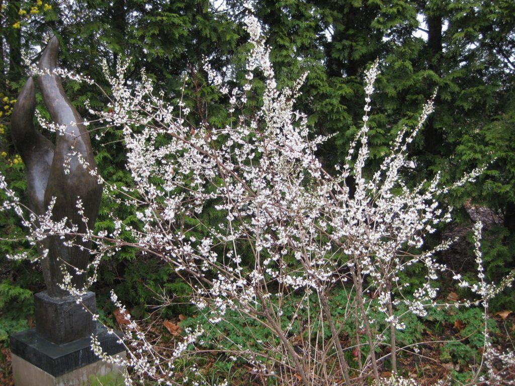 White Forsythia Rotary Botanical Gardens