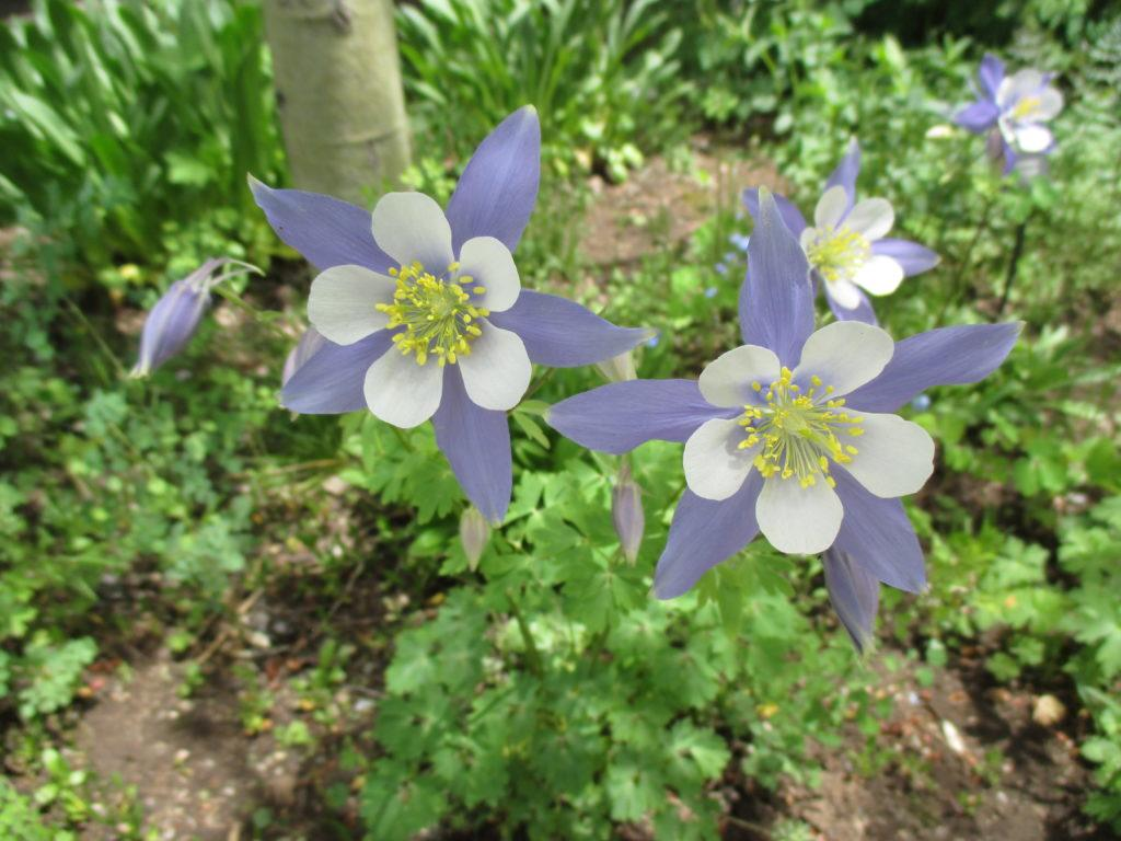 Cool columbines aquilegia rotary botanical gardens share on facebook share izmirmasajfo