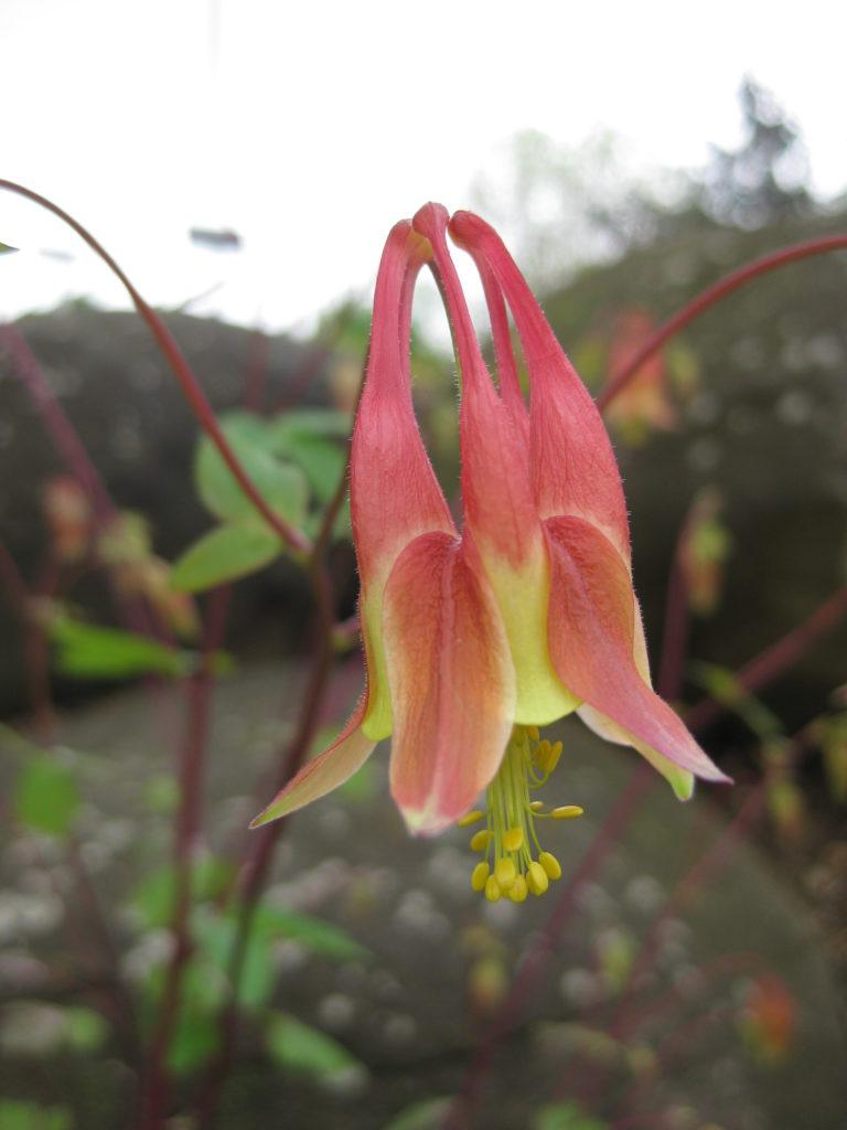 Cool columbines aquilegia rotary botanical gardens aquilegia canadensis pink lanterns above and two below izmirmasajfo