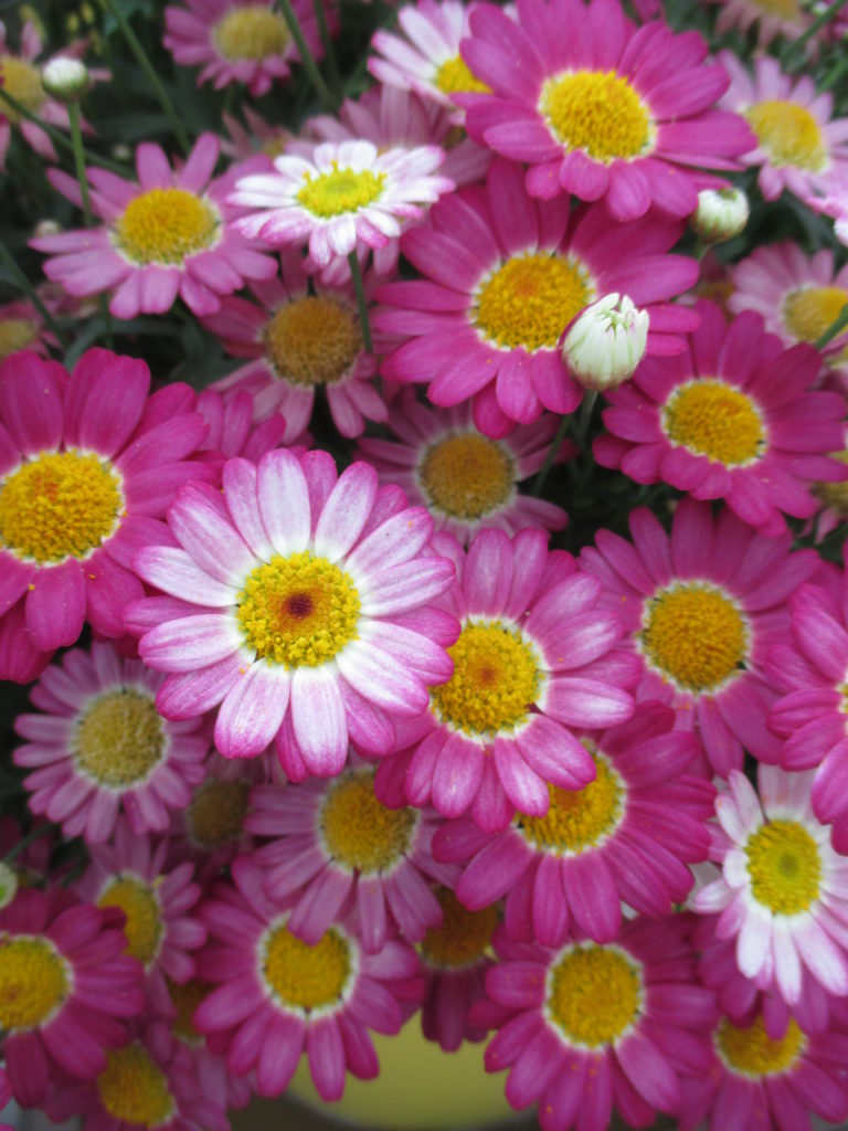 argyranthemum-angelic-ruby-b-2016-jpg