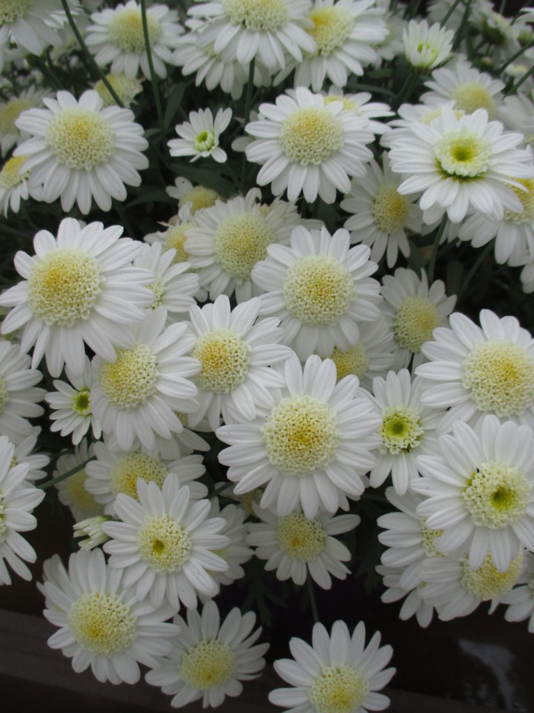 Marguerite daisies for impact rotary botanical gardens Where did daisies originate