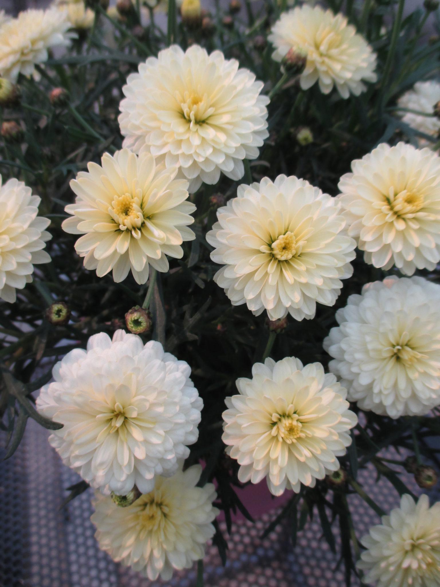 Argyranthemum Day Zee Double Vanilla 2016 Jpg Rotary Botanical Gardens
