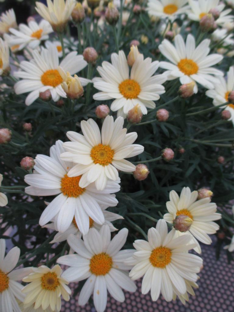 argyranthemum-day-zee-vanilla-2016-jpg