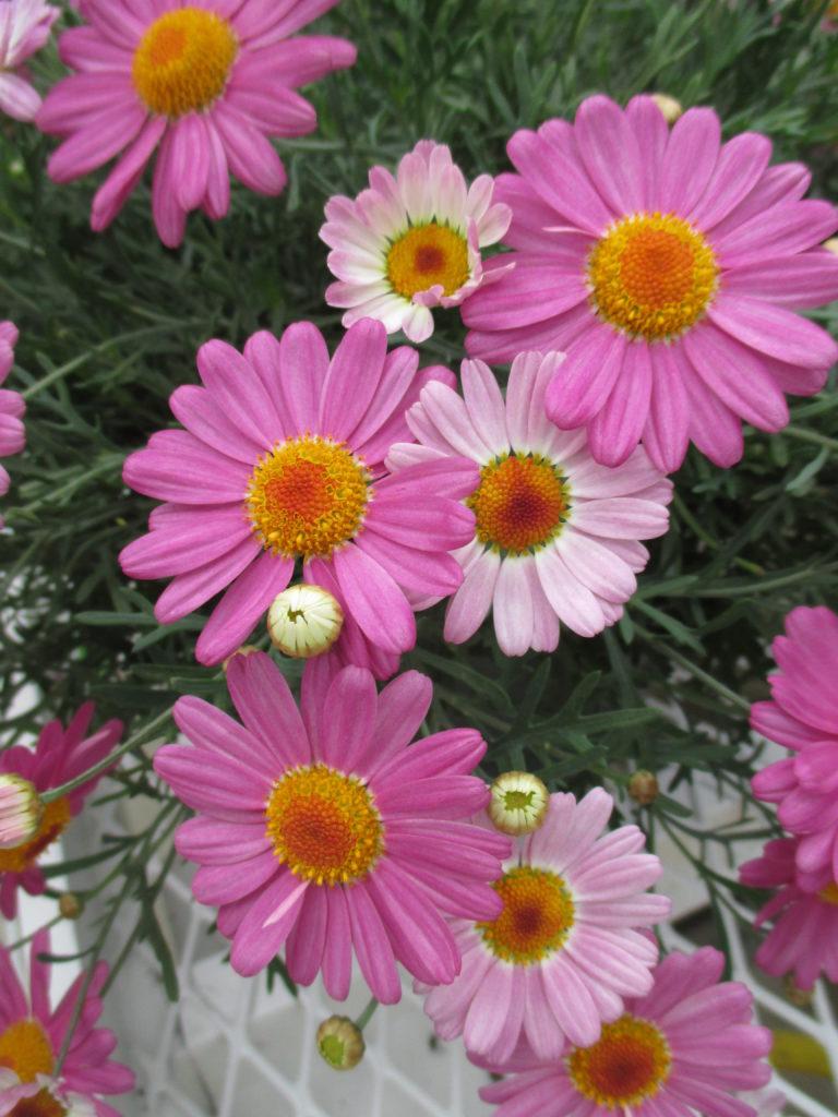 argyranthemum-glory-pink-2016-jpg