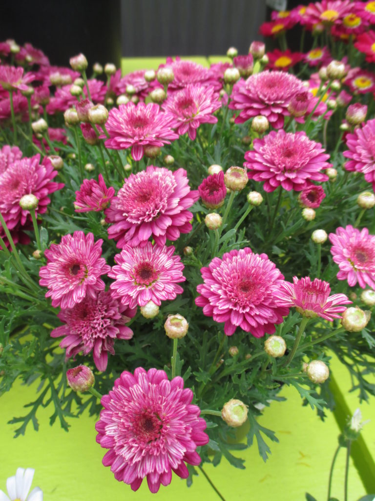 argyranthemum-go-daisy-fully-ruby-2016-jpg