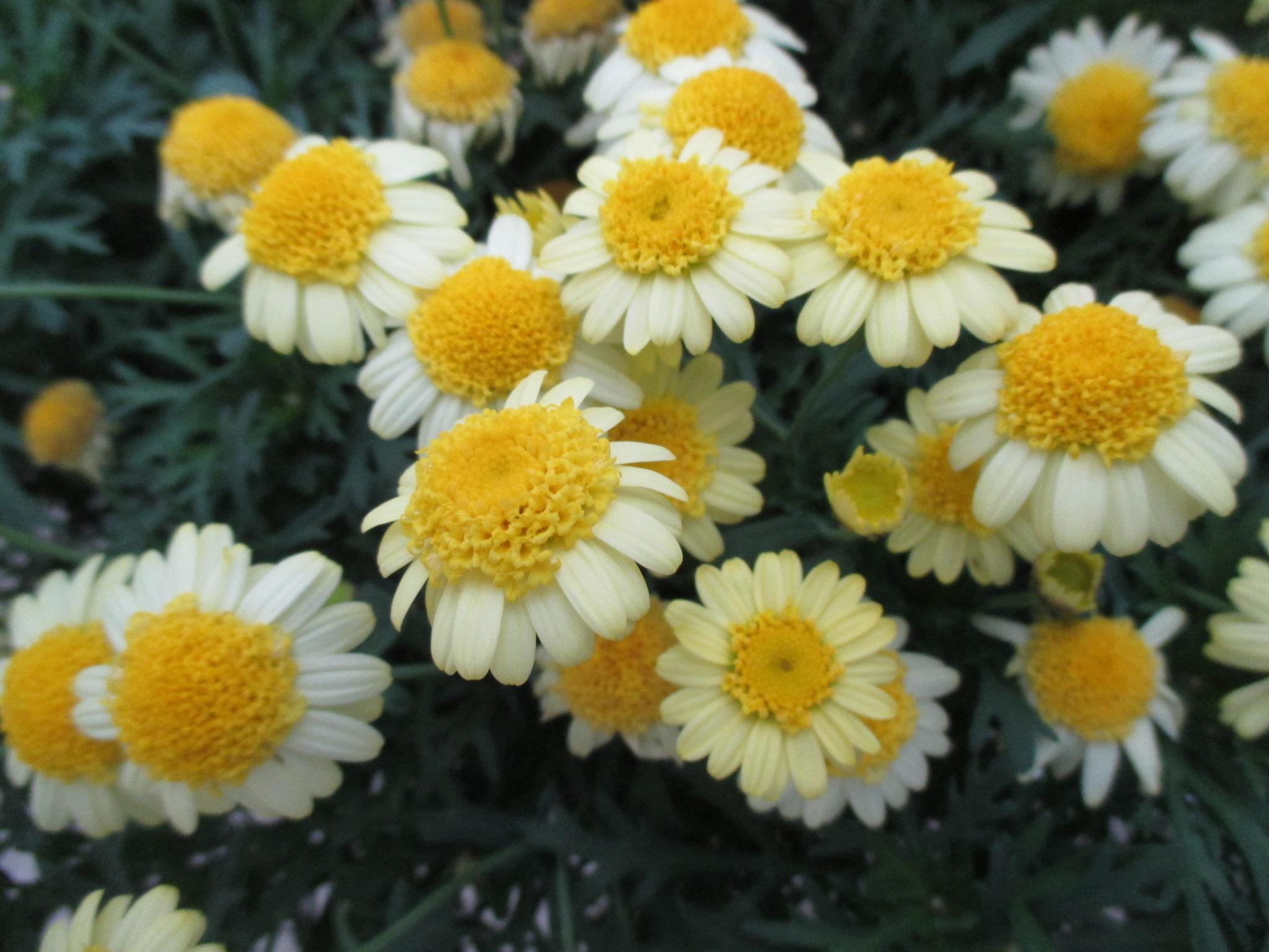 Argyranthemum Sassy Double Yellow 2016 Jpg Rotary Botanical Gardens