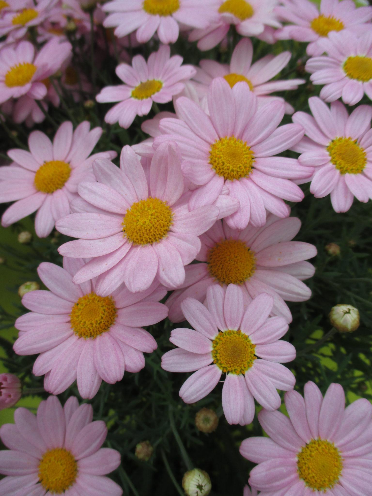 marguerite daisies for impact