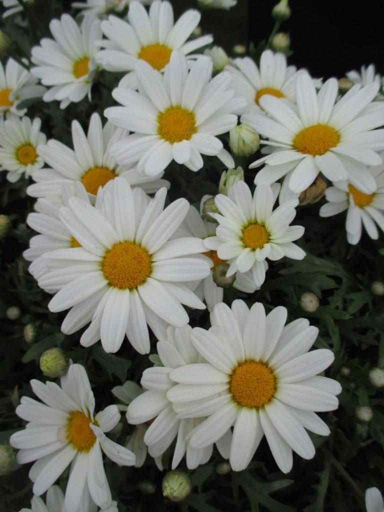 argyranthemum-white-butterfly-2016-2