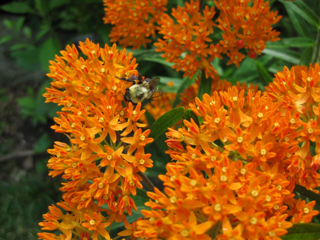 asclepias-tuberosa-at-mt-c-jpg