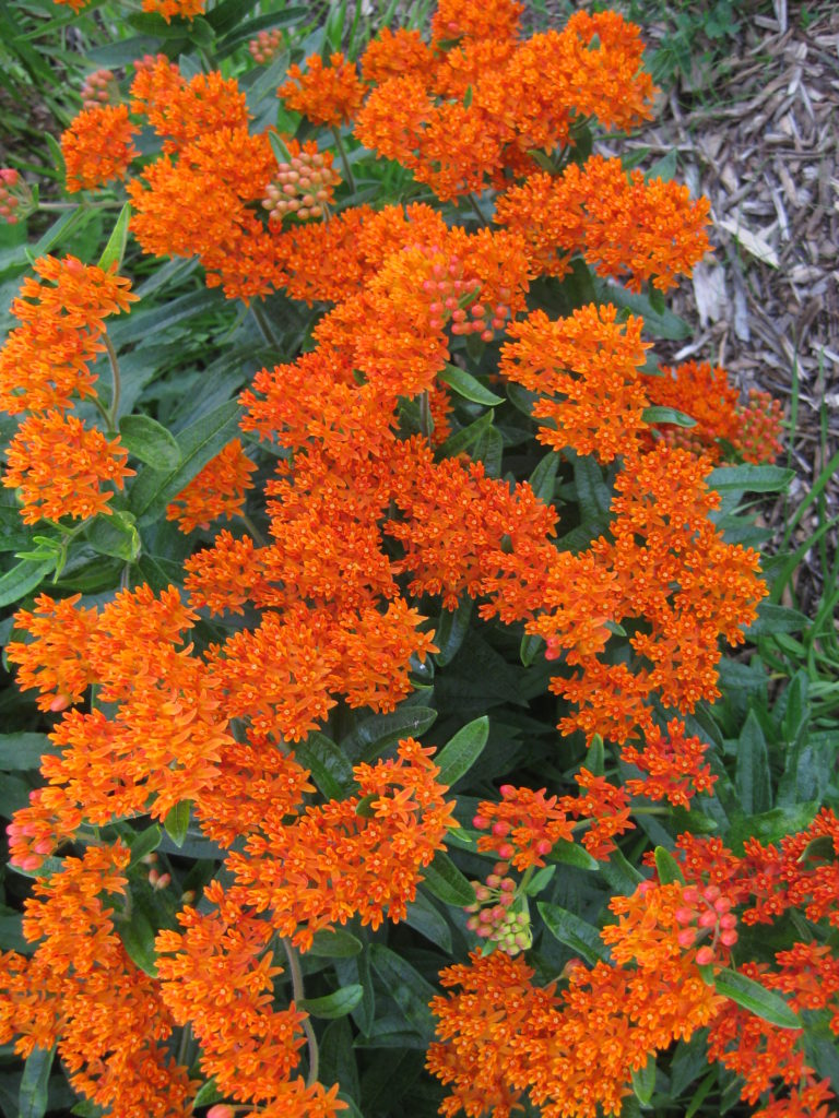 asclepias-tuberosa-at-wmags-2013