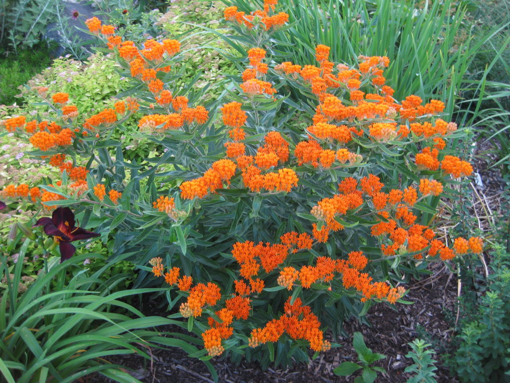 asclepias-tuberosa-at-wmags-2013c