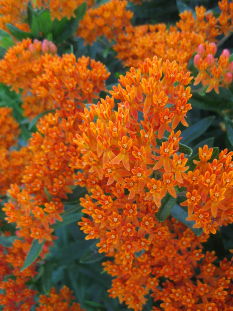 asclepias-tuberosa-at-wmags-2014