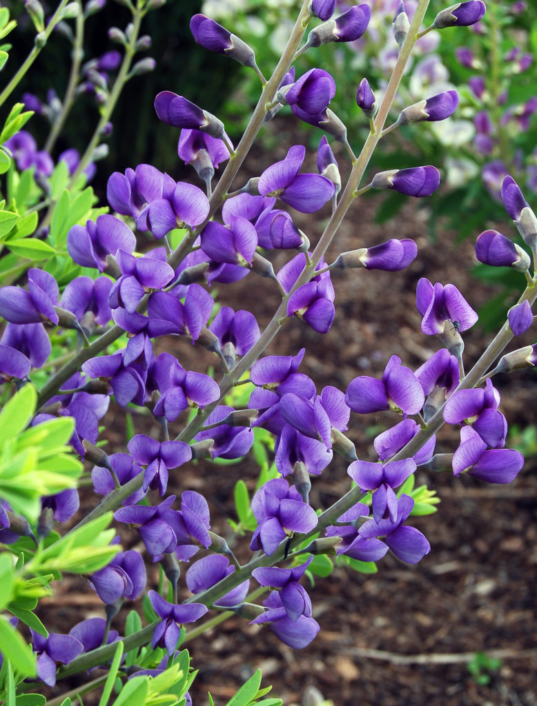 Baptisia australis 'Blue Mound' acc 99005 May 29 2009.JPG (2) (1)