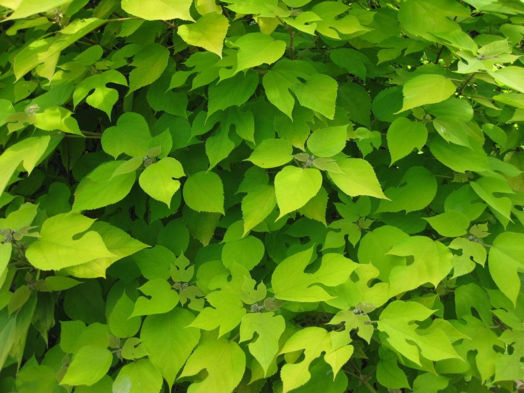 Golden Paper Mulberry - Rotary Botanical Gardens