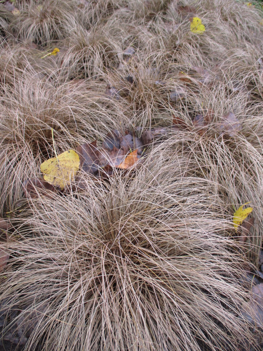 Why Plant A Dead Sedge Rotary Botanical Gardens
