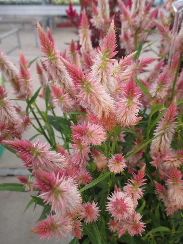 Wonderful Wheat Celosias Rotary Botanical Gardens