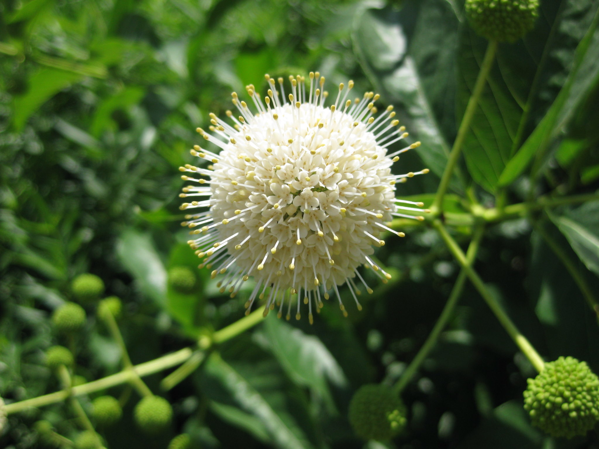 Garden Bush: Rotary Botanical Gardens