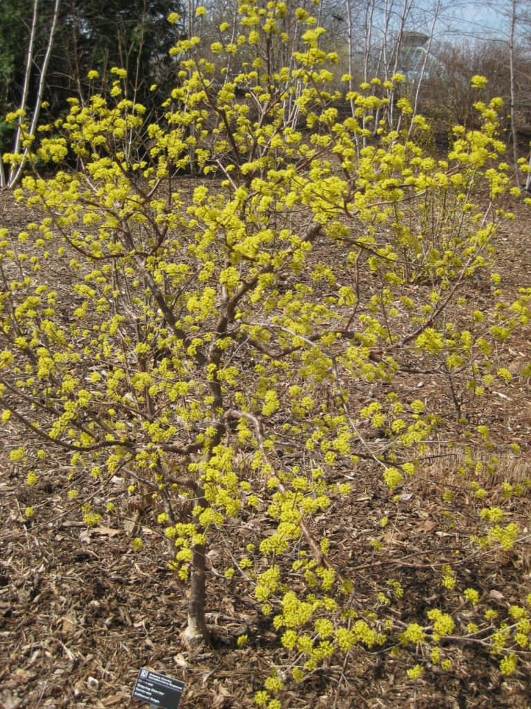 Corneliancherry Dogwood - Rotary Botanical Gardens