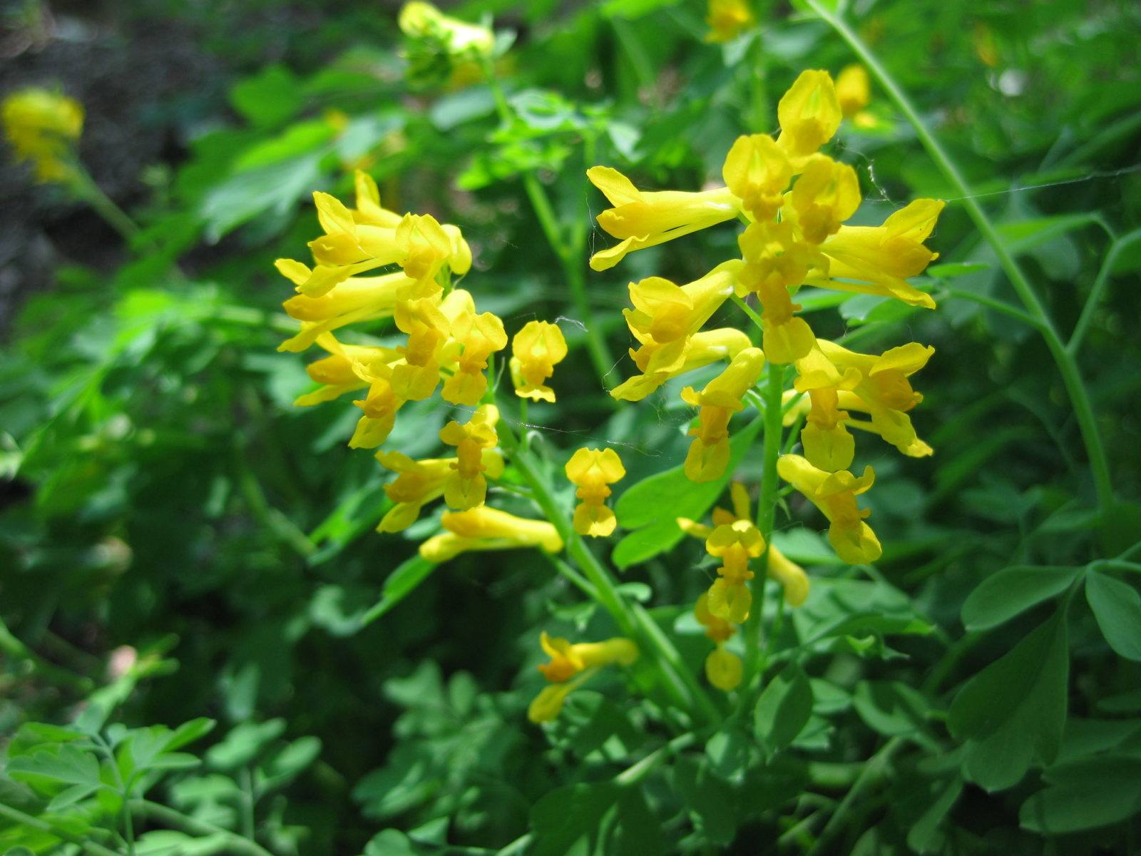 Yellow Fumitory For Lengthy Blooms Rotary Botanical Gardens
