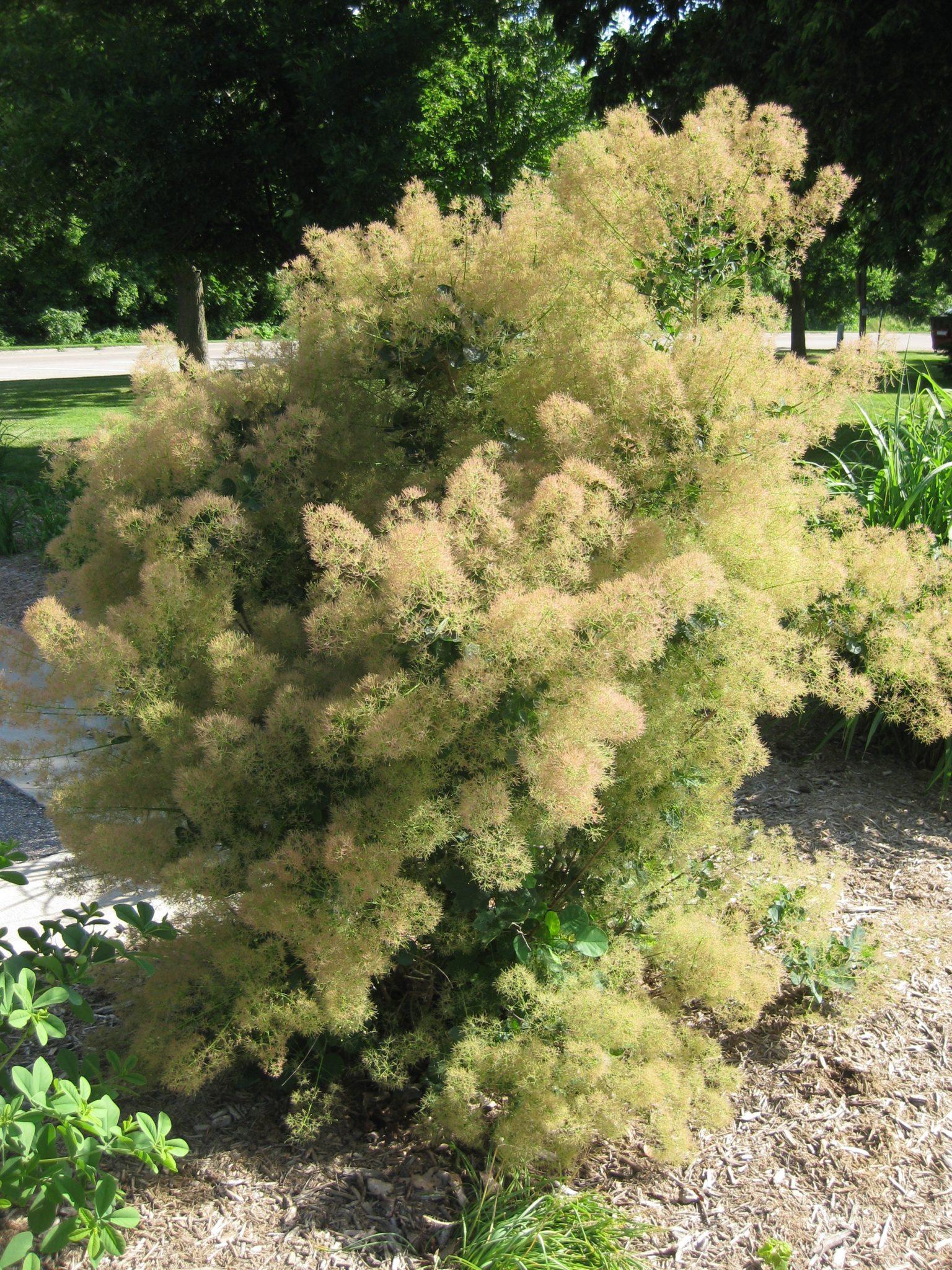 Cotinus obovatus (2013)b - Rotary Botanical Gardens