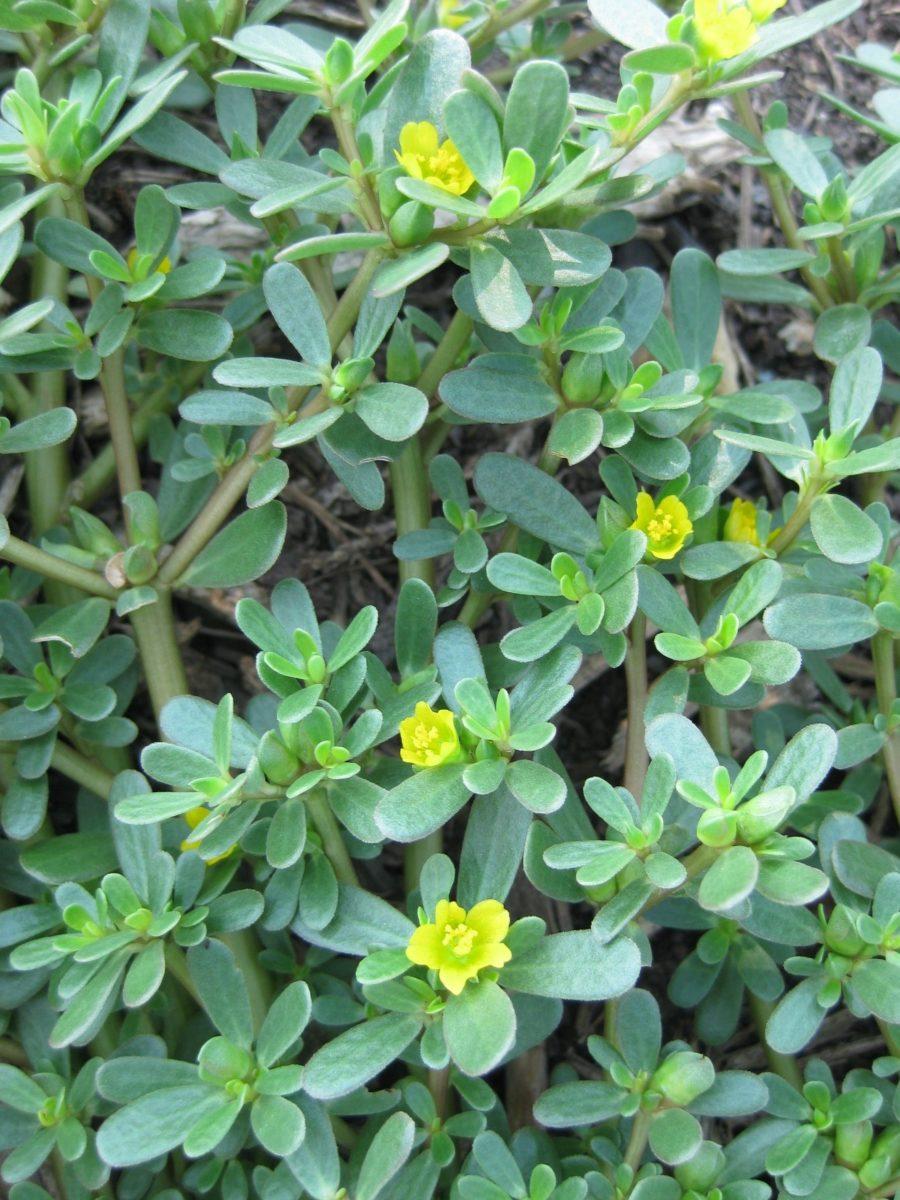 "Growing Purslane How To Grow Edible Purslane In The Garden: Purslane: Dinner Or ""Dammit!?"""