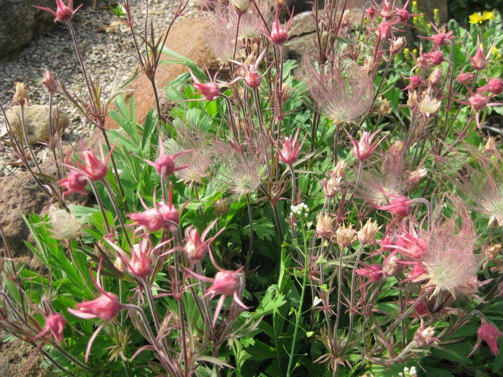 Prairie Smoke Geum Triflorum Rotary Botanical Gardens