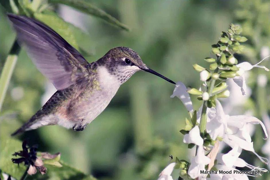 hummingbird-2012
