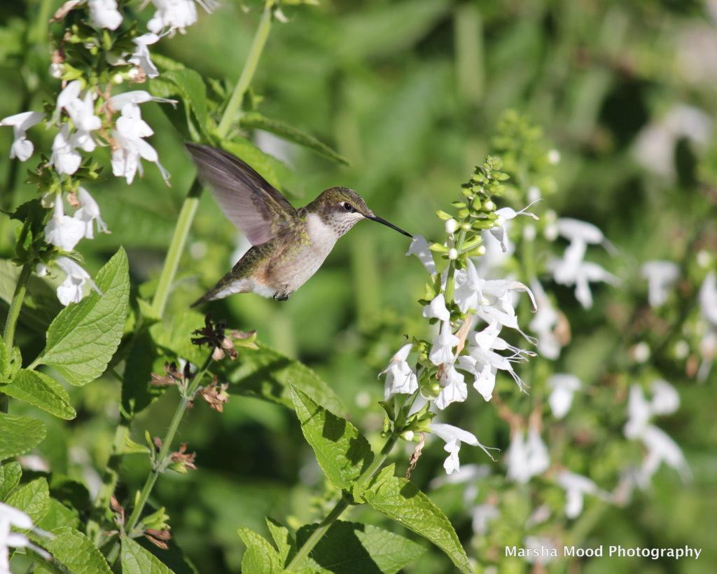 hummingbird-img_4933