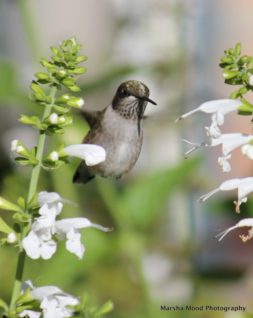 hummingbird-img_4957