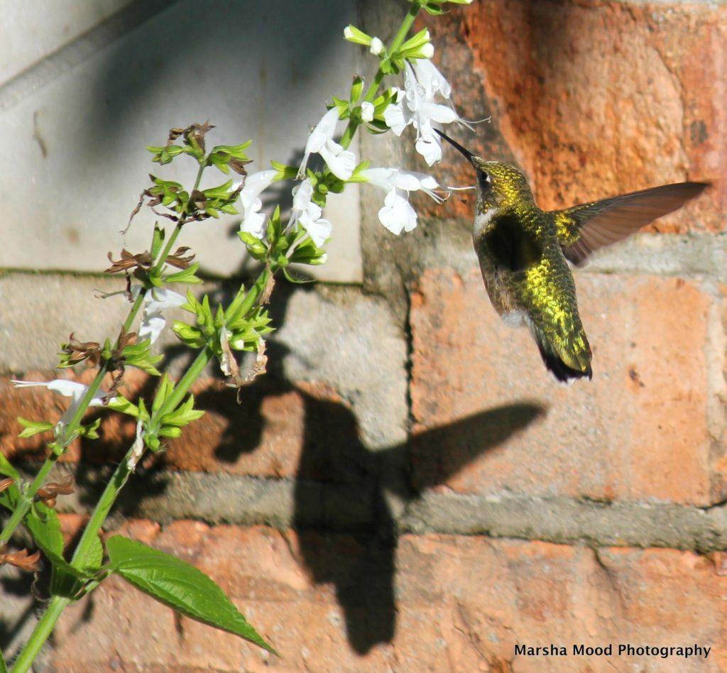 hummingbird-img_4978