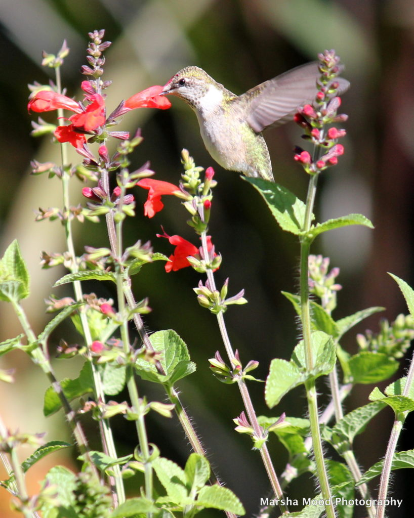 hummingbird-img_5132
