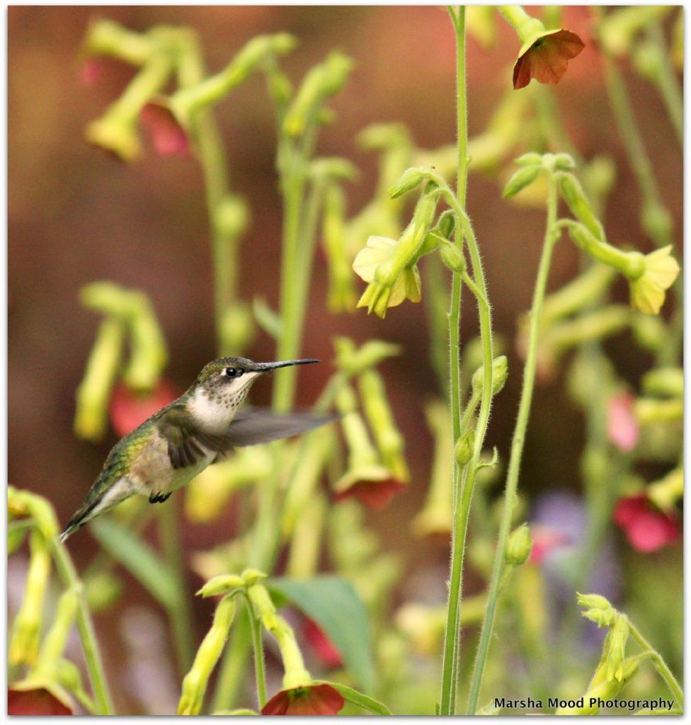 hummingbird-img_6018