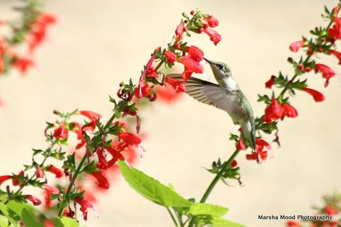 hummingbird-no-signature-img_0589