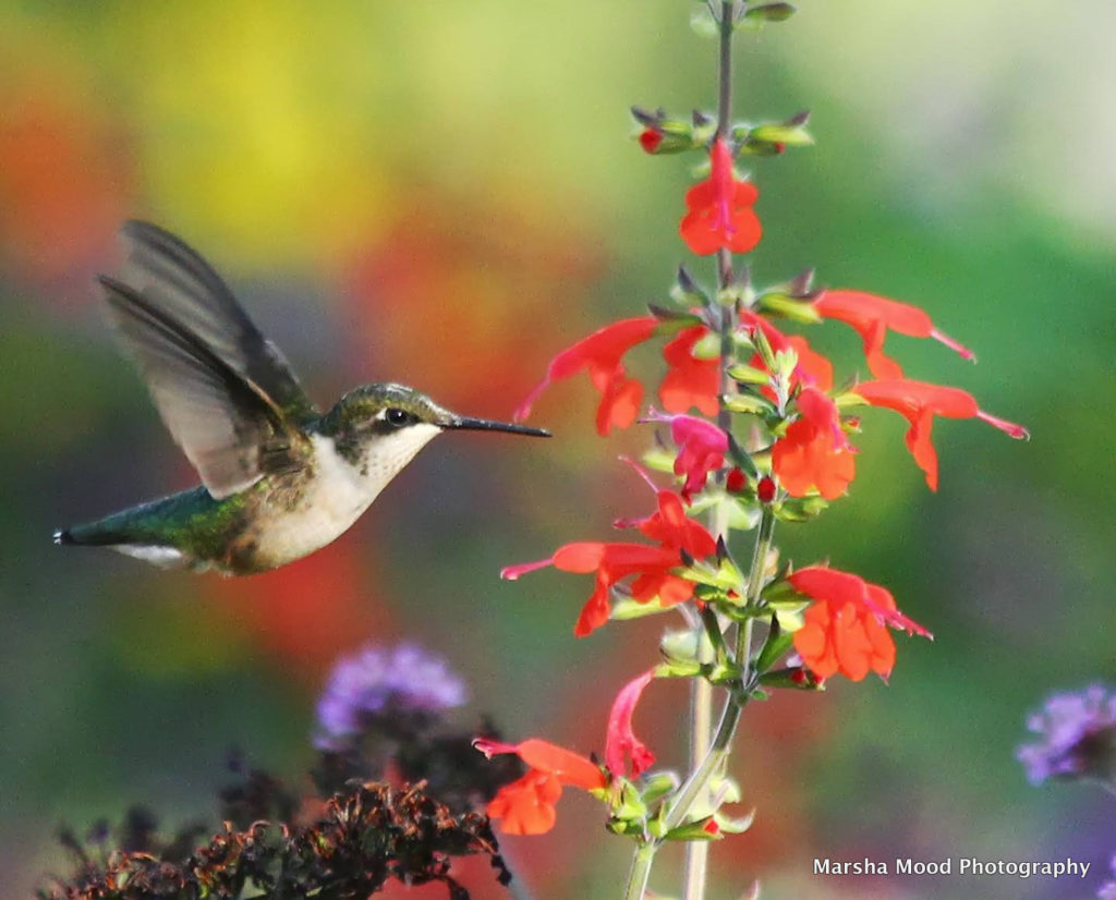 hummingbird-at-red-salvia