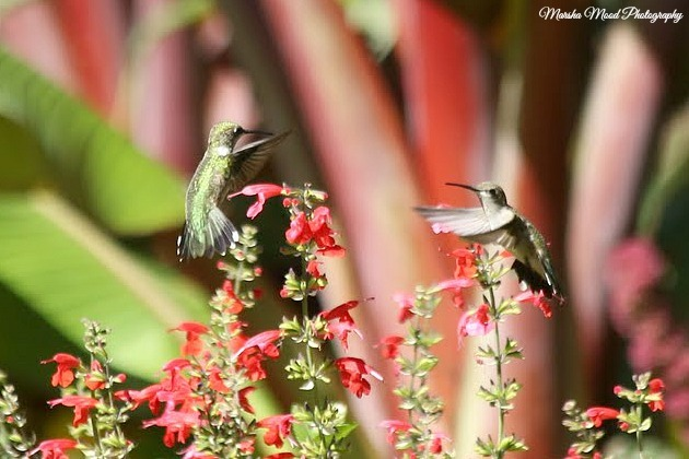 hummingbirds-signature-img_0096