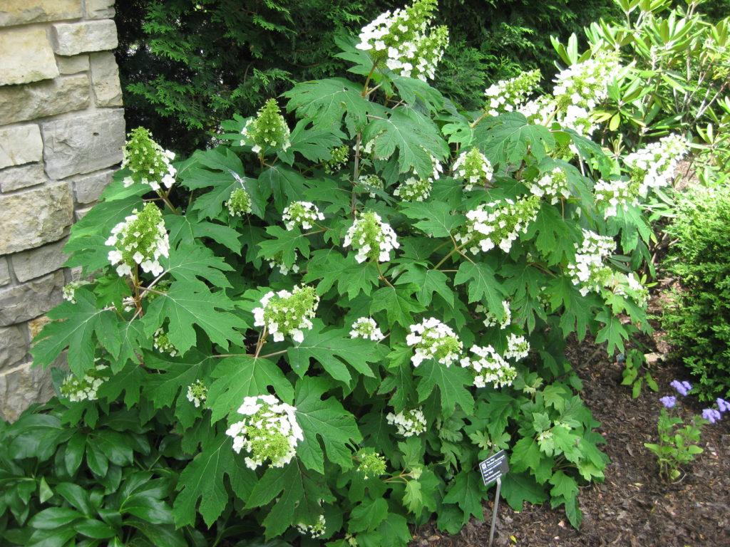 The stately oakleaf hydrangea rotary botanical gardens for Hydrangea quercifolia