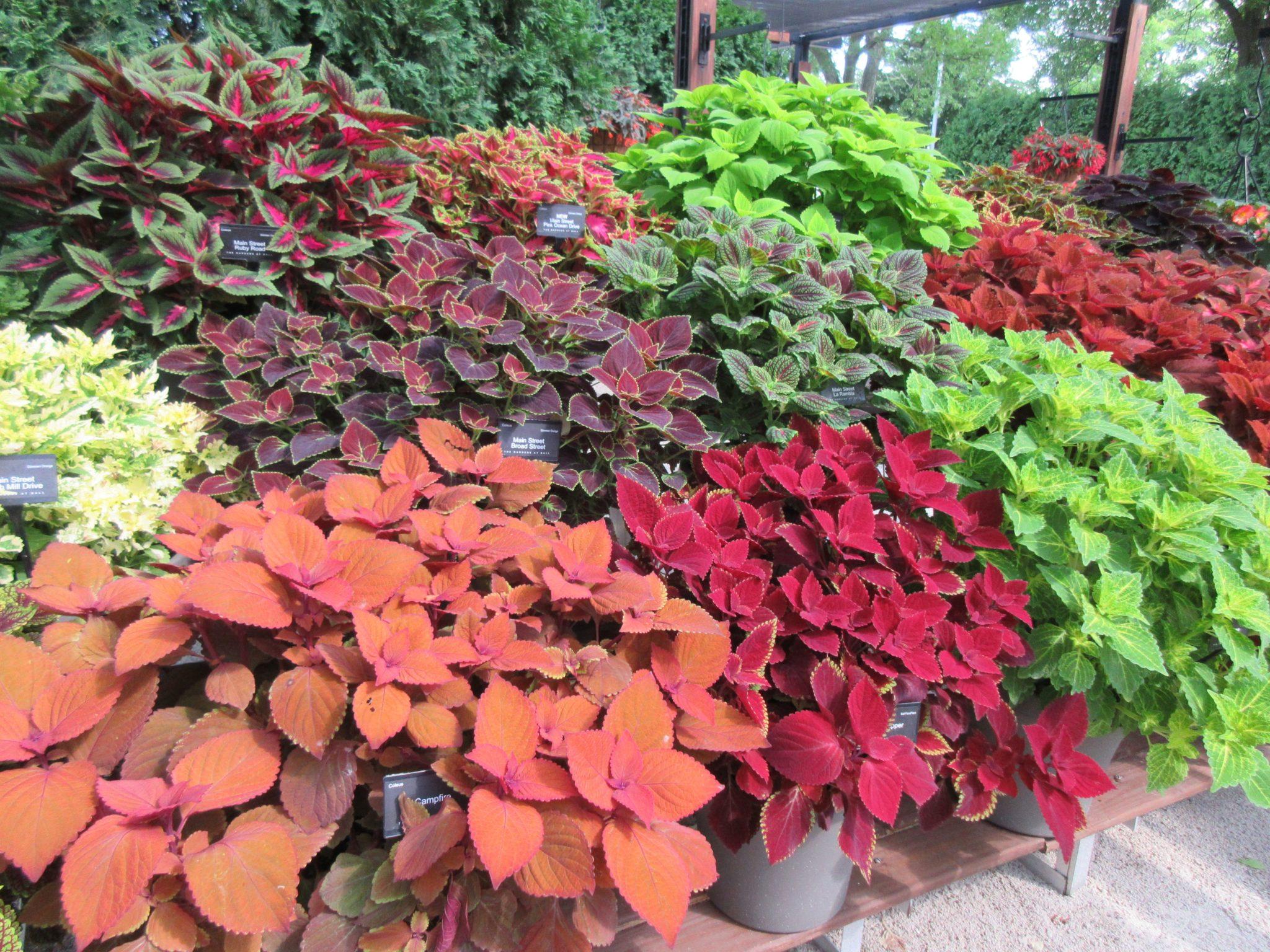 A Cool Cache Of Coleus Rotary Botanical Gardens