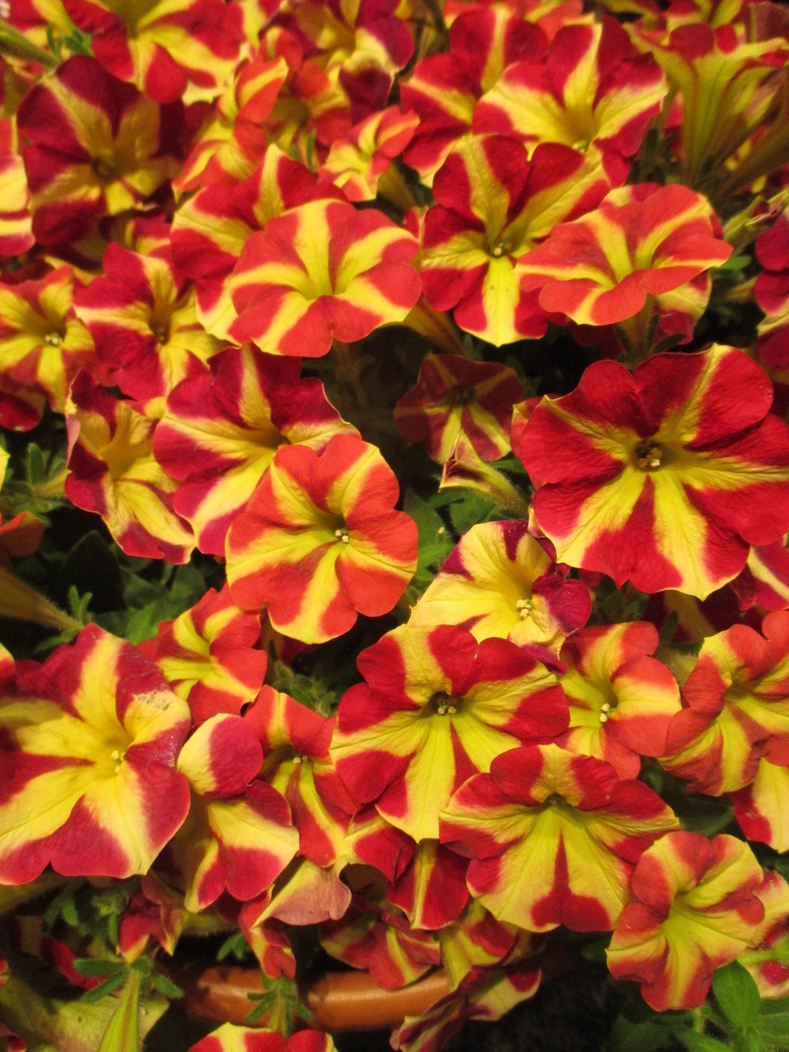 Not Your Grandma S Petunias Rotary Botanical Gardens