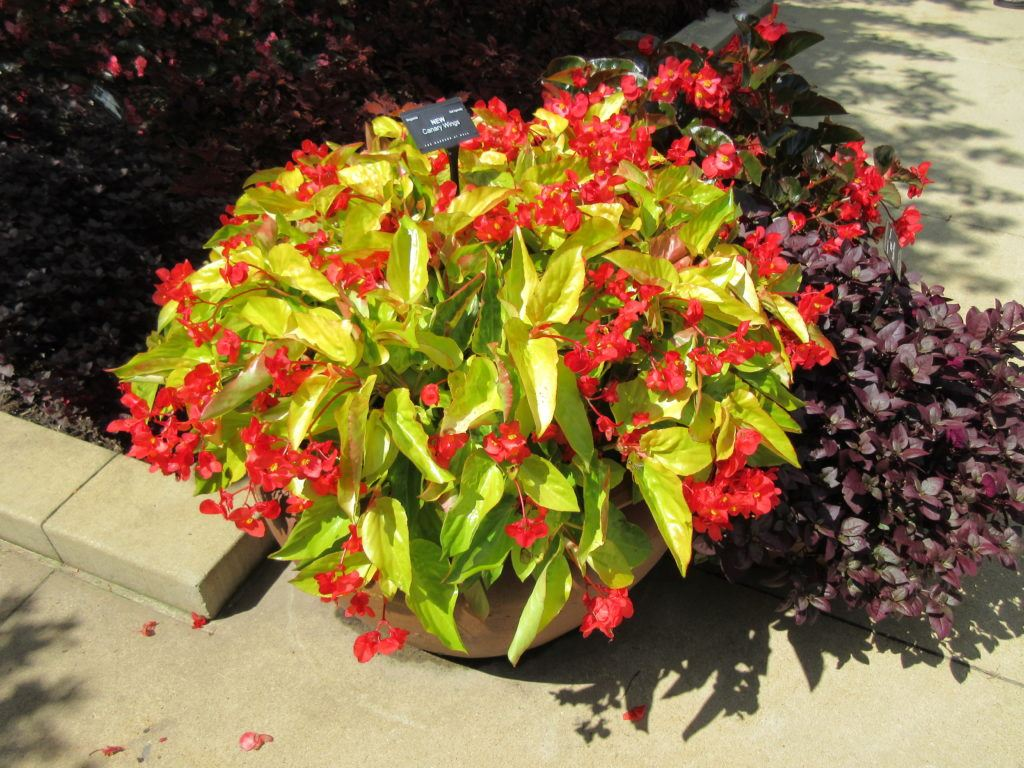 Canary Wing' Begonia - Totally Awesome! - Rotary Botanical