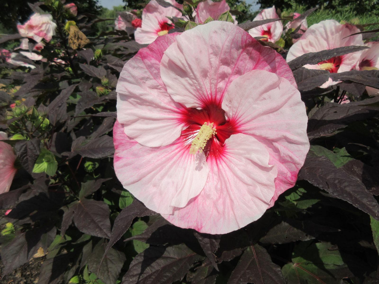 Hibiscus at cbg rotary botanical gardens hibiscus at cbg izmirmasajfo