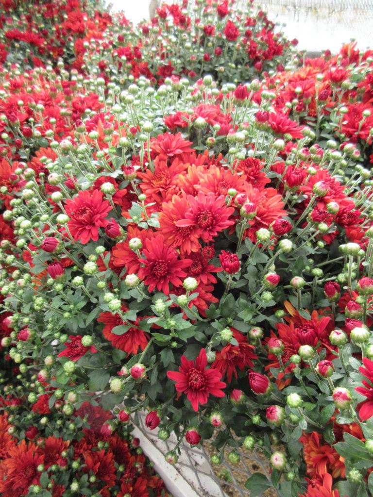Plant sale looms rotary botanical gardens over 2000 mums of many colors will also be available at the fall plant sale izmirmasajfo Gallery